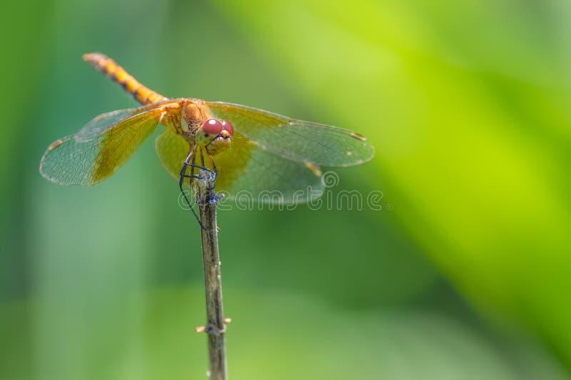 Gatunki meadowhawk dragonfly umieszczali na gałązce brać blisko Minnehaha spadków w Minneapolis, Minnestoa obraz royalty free