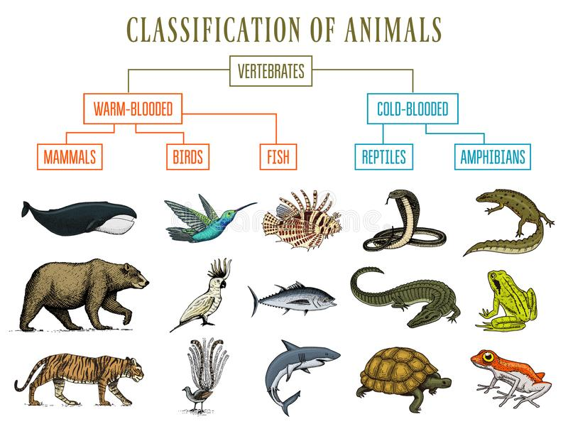Gatunkowanie zwierzęta Gad amfibii ssaków ptaki Krokodyl ryba niedźwiedzia węża Tygrysia Wielorybia żaba Edukacja ilustracja wektor