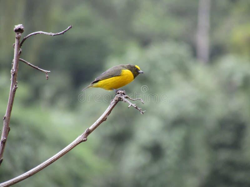 Gaturamo Verdadeiro macho - Euphonia violacea samiec zdjęcie stock