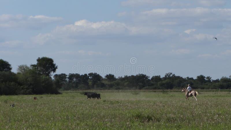 Gaucho, der die Kuh sucht lizenzfreie stockfotos