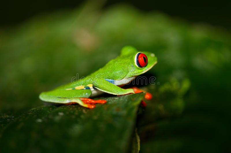 Gaudy leaf frog stock image