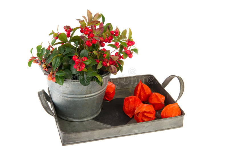 Download Gaultheria in autumn stock photo. Image of tray, still - 21338600