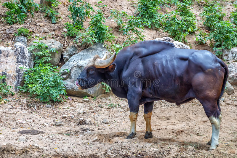 Gaur ή gaurus Bos στο ζωολογικό κήπο στοκ εικόνα