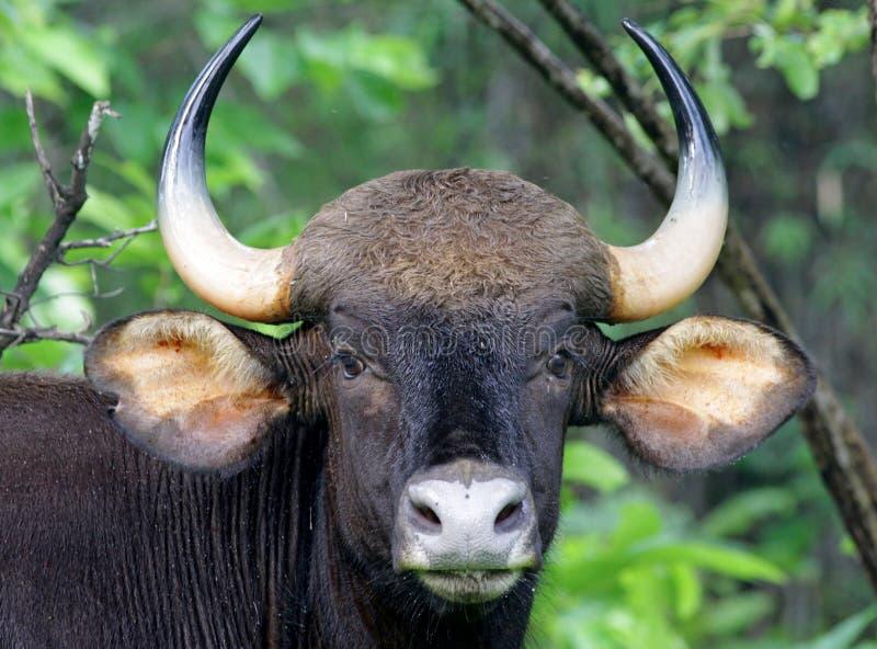 gaur πλάνο πορτρέτου στοκ φωτογραφίες