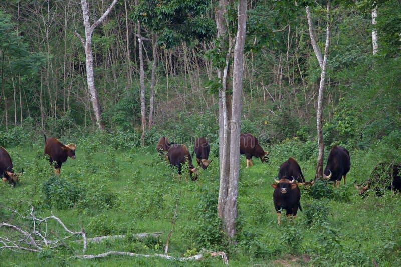 Gaur в среду обитания природы в Таиланде стоковые фото