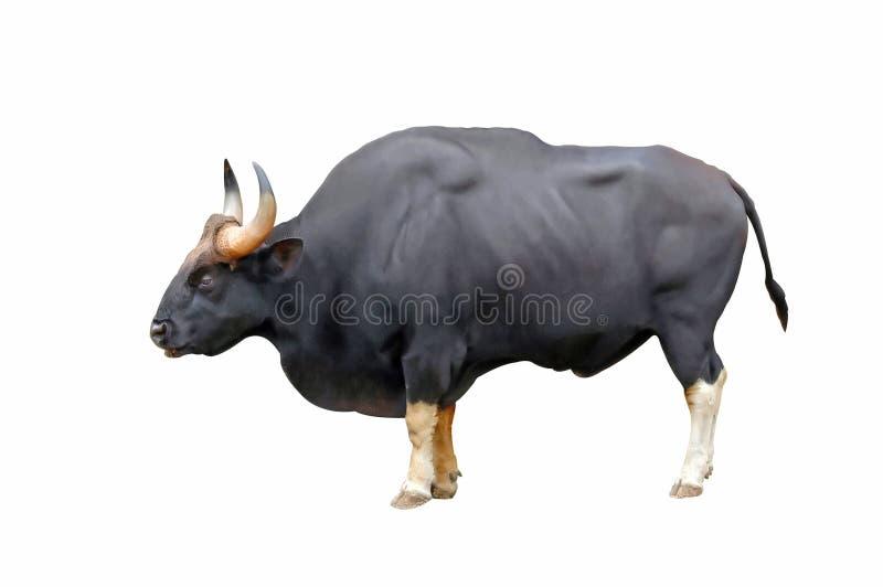 gaur στοκ φωτογραφία με δικαίωμα ελεύθερης χρήσης