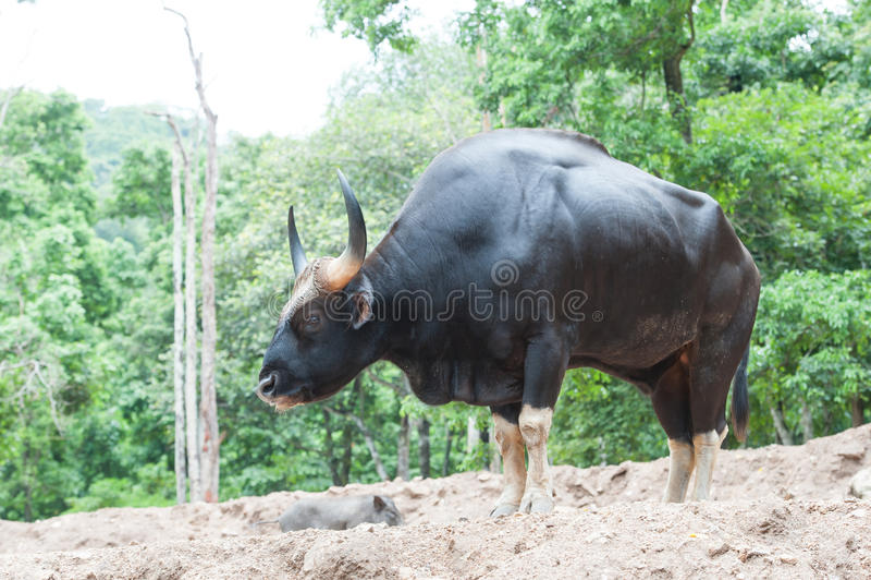 Gaur royalty-vrije stock foto