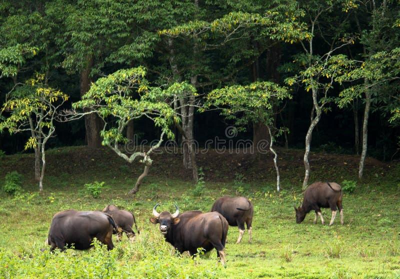 Gaur, ou Bos Gaurus images libres de droits