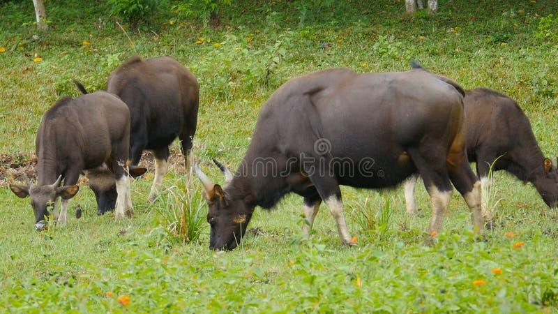 Gaur, ou Bos Gaurus photo stock