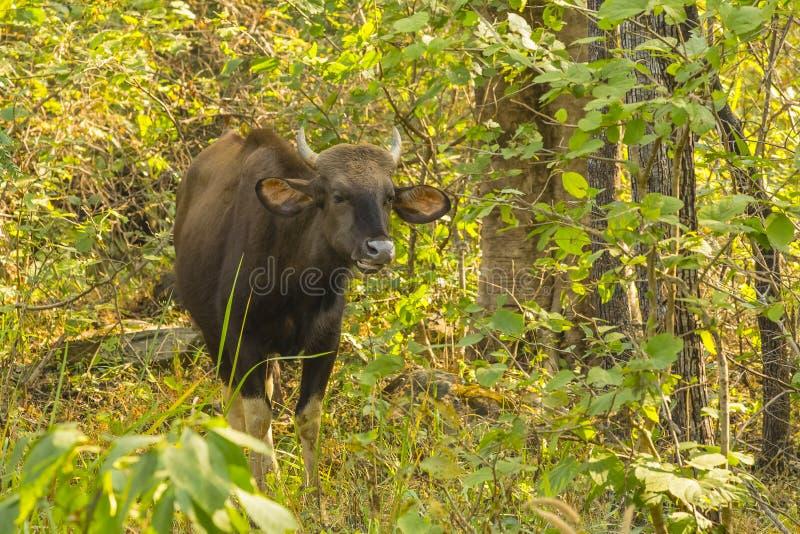 Gaur selvagem que mastiga a comida ruminada na selva fotografia de stock
