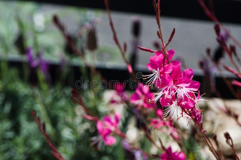 Gaura Belleza menchie kwitną w wiosna sezonie przy ogródem botanicznym fotografia stock