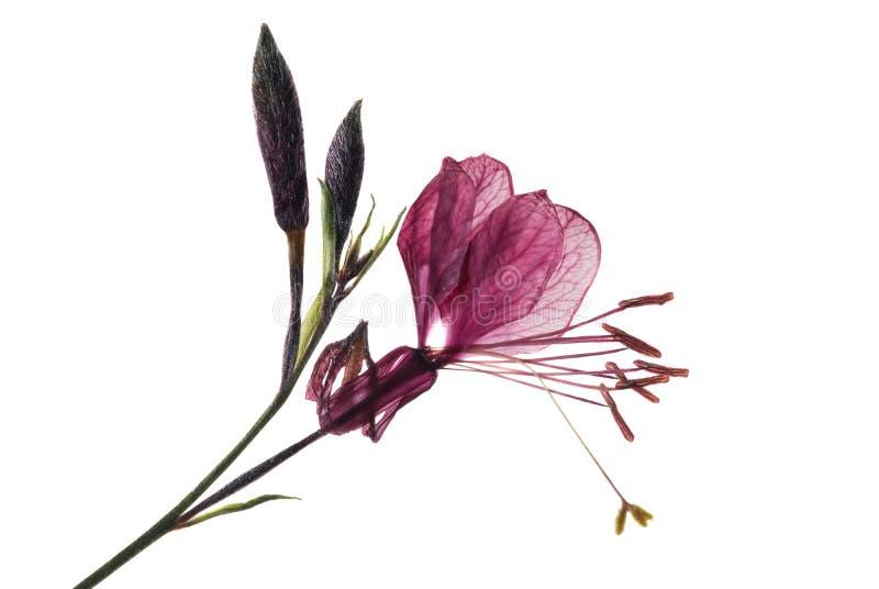 Gaura flower stock image