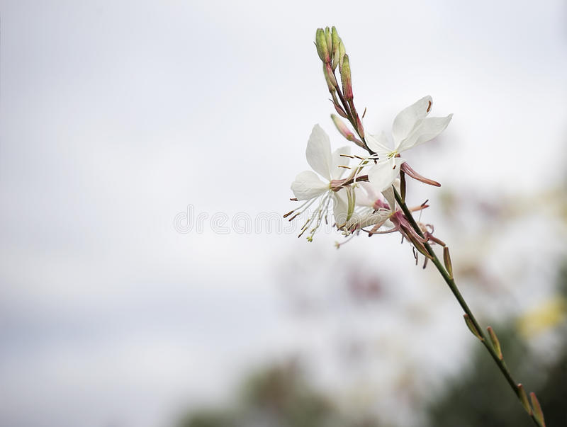 Gaura flower with neutral copy-space stock images