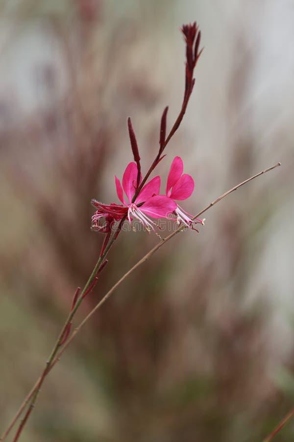 Download Gaura lindheimeri stock image. Image of flora, bright - 39504309