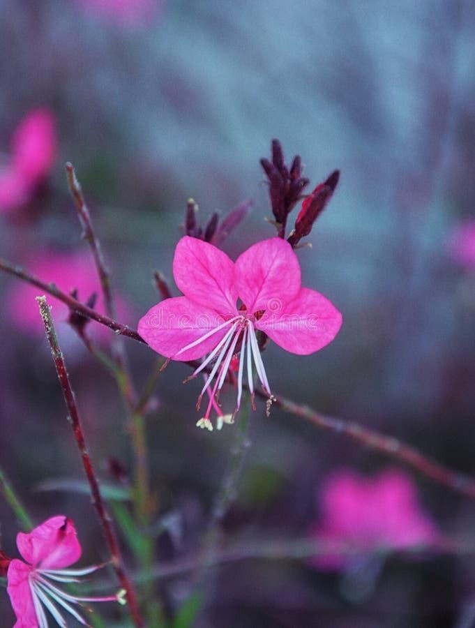 Gaura lindhemeria, pink gaura flower. Other name is oenothera lindheimeri stock photography