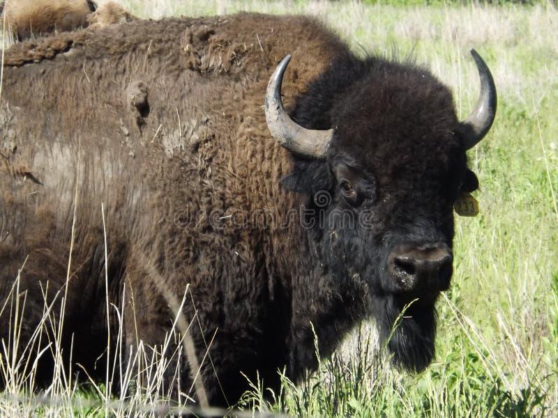Gaurdian Bison Bull fotografia stock libera da diritti