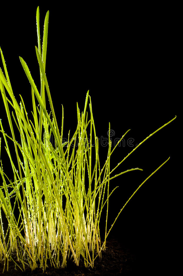 Gaussian Blur. It is convenient for the designer, young grass on a black background. texture of green. isolated stock images