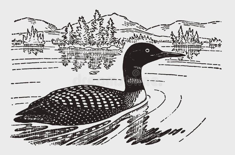 Gaviaimmer för gemensam lom som eller för stor nordlig dykare simmar på en sjö stock illustrationer
