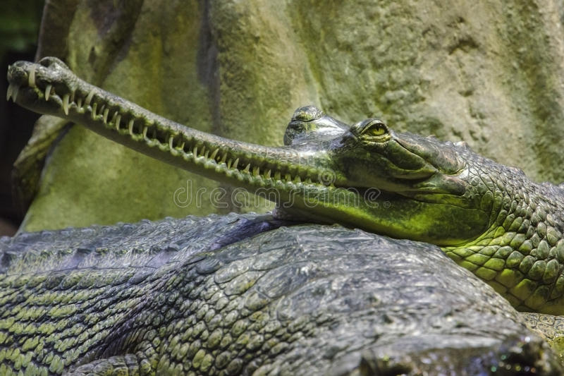 Download Gavial stock photo. Image of gangeticus, gavialis, detail - 37696224