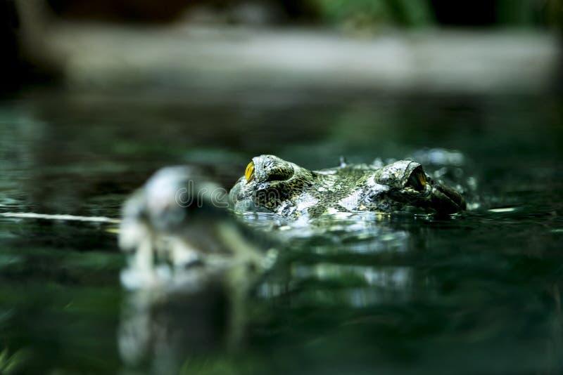 Gavial con le mandibole aperte e gli occhi perforanti fotografie stock libere da diritti