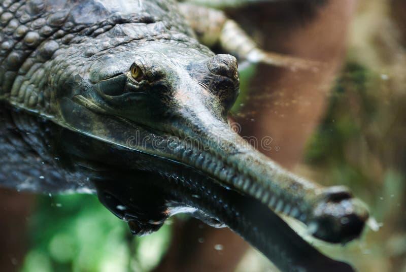 Gavialis gangeticus, Gharial, Gavial下颌详述头 库存图片