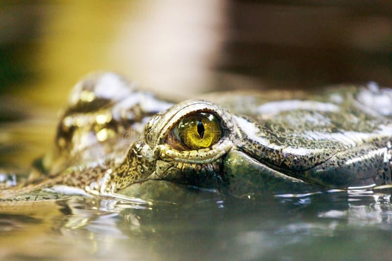 Gavialis gangeticus/Gharial -重要En 库存图片