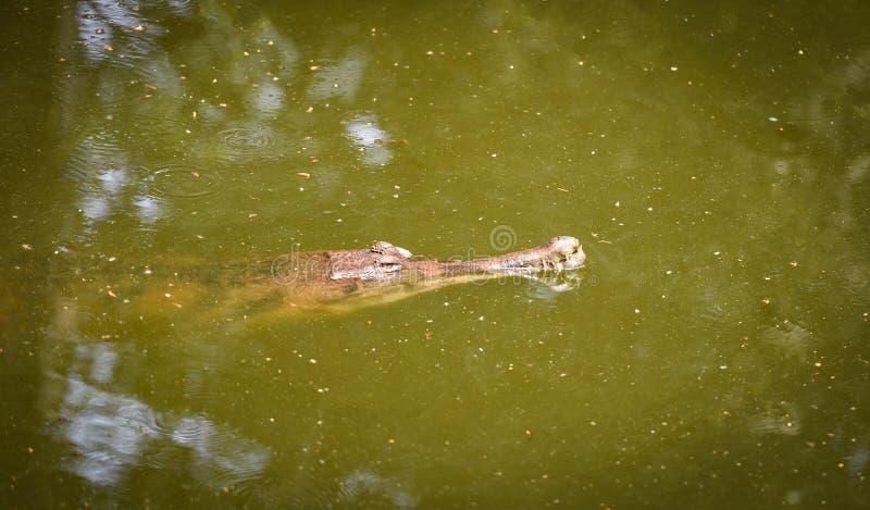 Gavialkrokodil of het gharial drijven op de aard van de watervijver stock foto