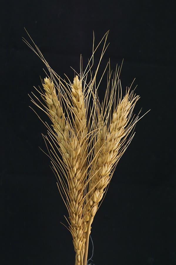 Gavilla de trigo y de cebada en el fondo negro fotos de archivo