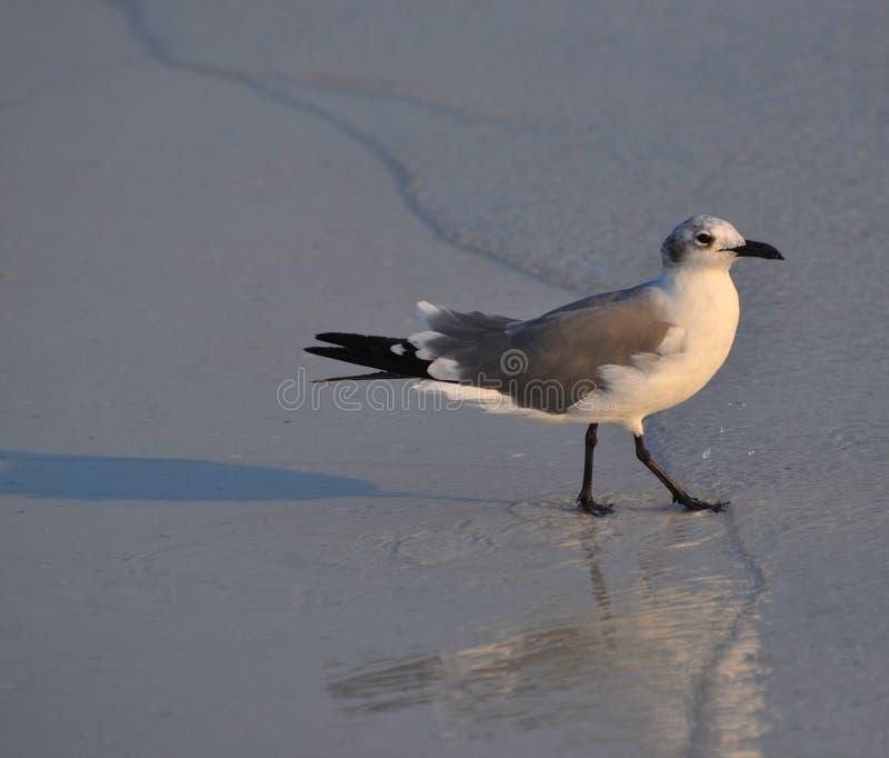 Download Gaviota foto de archivo. Imagen de walking, rotura, playa - 41903572