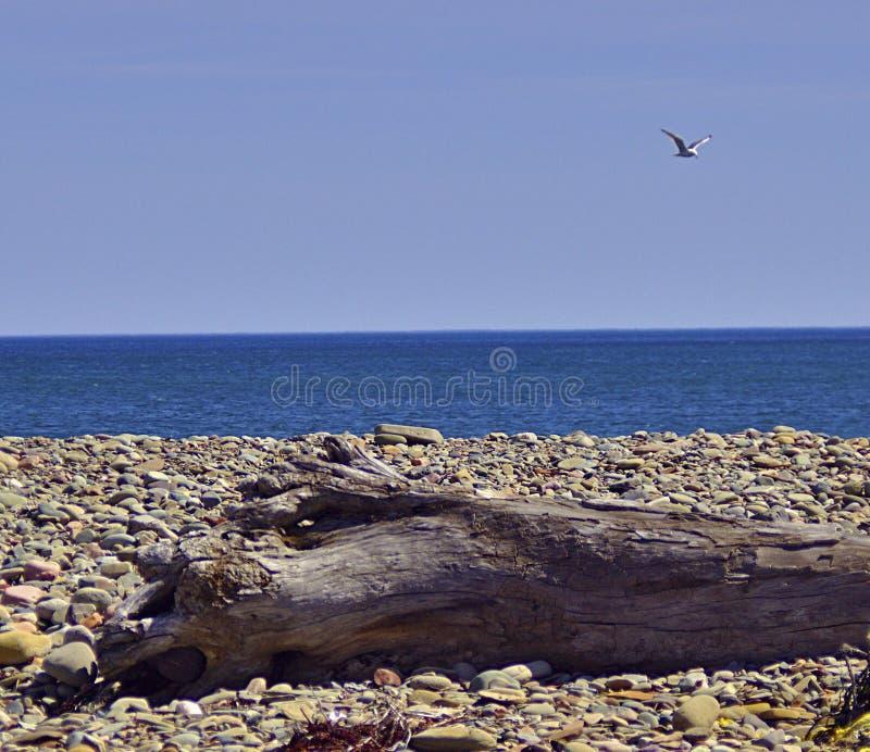 Gaviota azul 3583 A de la madera de deriva del océano fotografía de archivo libre de regalías