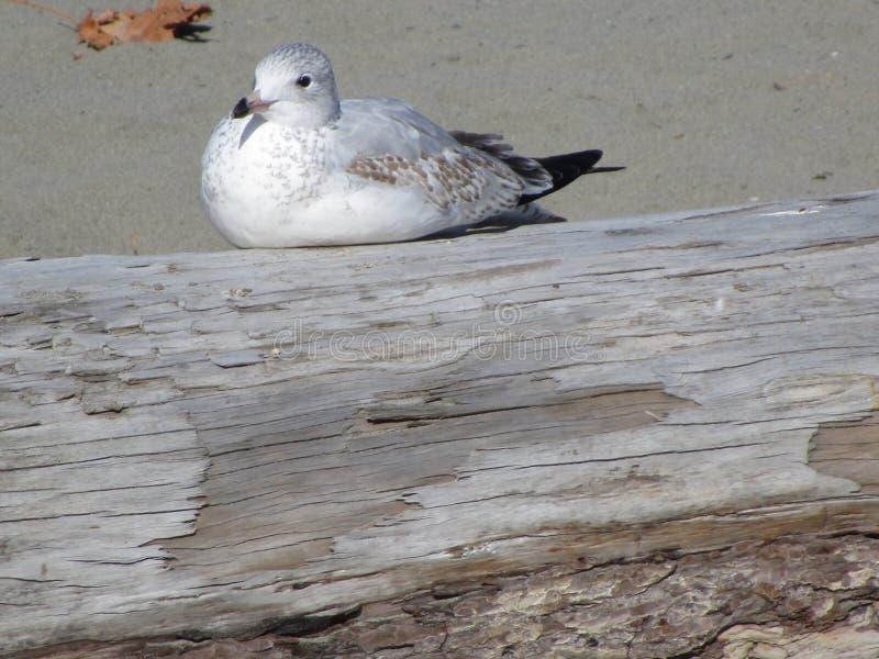 Gaviota blanca brillante que descansa sobre un registro en la playa imagenes de archivo