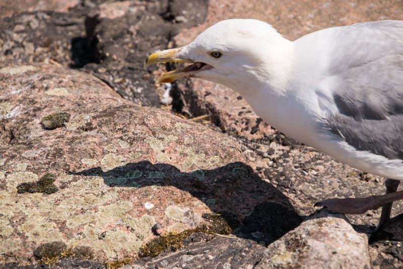 Gaviota blanca con el pico amarillo abierto y las alas grises en la pared de piedra que mira su sombra mientras que se coloca en  foto de archivo libre de regalías