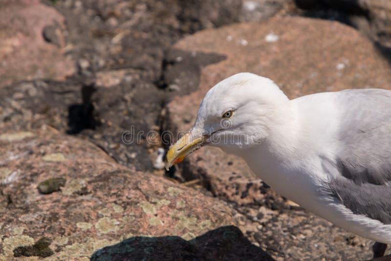 Gaviota blanca con el pico amarillo y situación en las rocas que miran su sombra mientras que se coloca en rocas imagen de archivo