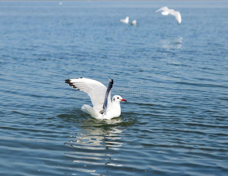 Gaviota blanca de la gaviota que flota en el mar fotos de archivo libres de regalías