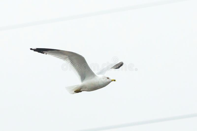 Gaviota blanca grande que vuela a solas solamente imagen de archivo