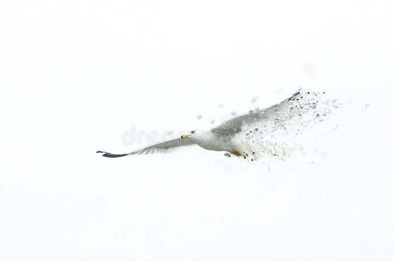 Gaviota blanca grande que vuela a solas solamente la desaparición imágenes de archivo libres de regalías