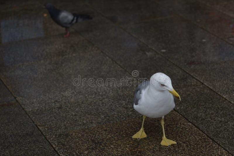 Gaviota blanca y paloma al fondo fotografía de archivo libre de regalías