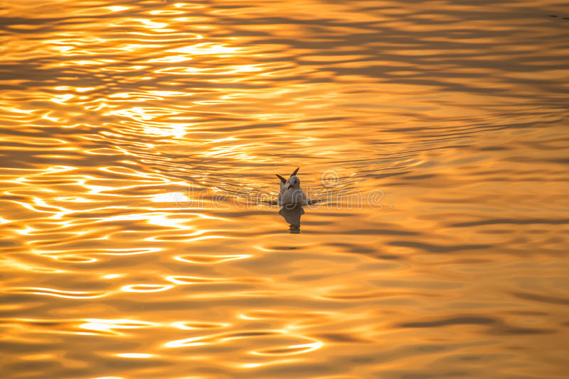 gaviota Brown-dirigida que flota en el mar foto de archivo libre de regalías