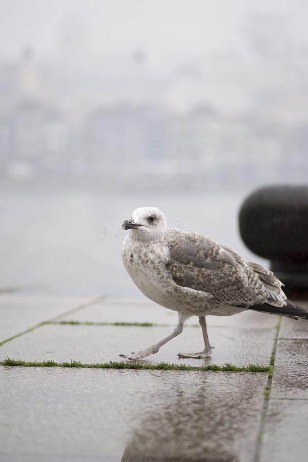Gaviota caminando en el suelo del puerto de Oporto fotografía de archivo libre de regalías