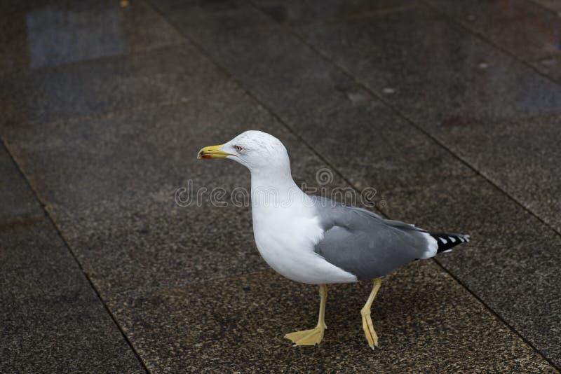 Gaviota caminando por la plaza en busca de comida imagen de archivo