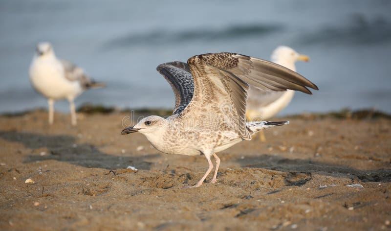 gaviota con las plumas grises listas para tomar vuelo de la playa imagenes de archivo