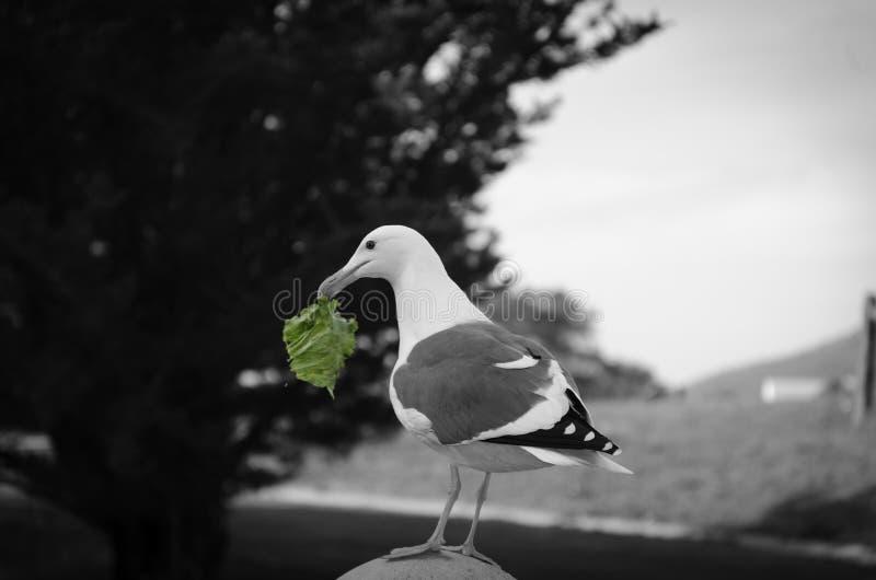 Gaviota con un pedazo de lechuga robada cerca de la Costa del Pacífico del castillo de Hearst de California fotos de archivo libres de regalías