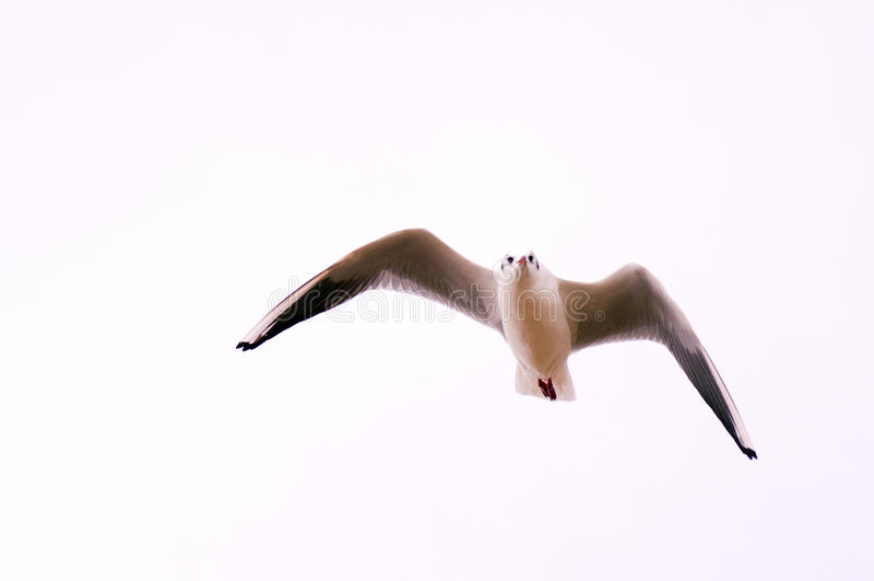 Gaviota de cabeza negra en vuelo fotografía de archivo