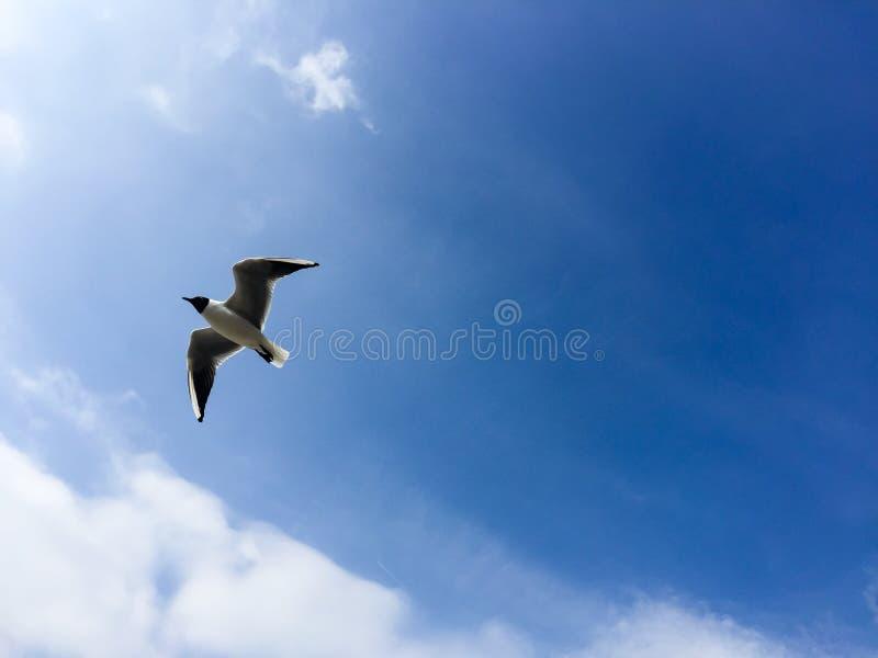 Gaviota de cabeza negra que vuela, cielo azul, Inglaterra fotografía de archivo libre de regalías