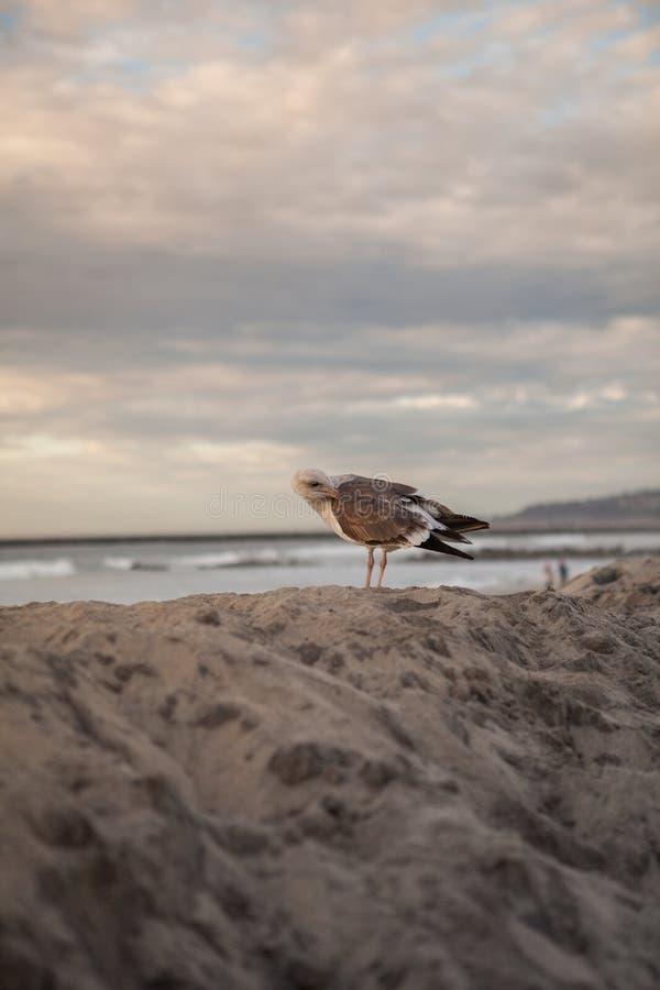 Gaviota de California en San Diego en la playa imágenes de archivo libres de regalías