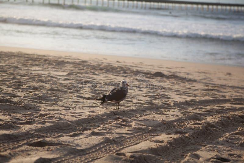 Gaviota de California en San Diego en la playa imagen de archivo libre de regalías