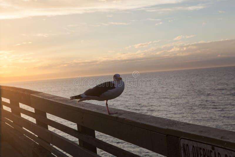 Gaviota de California en San Diego en la playa foto de archivo libre de regalías