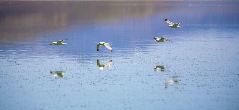 Gaviota de California que vuela sobre el mono lago fotografía de archivo