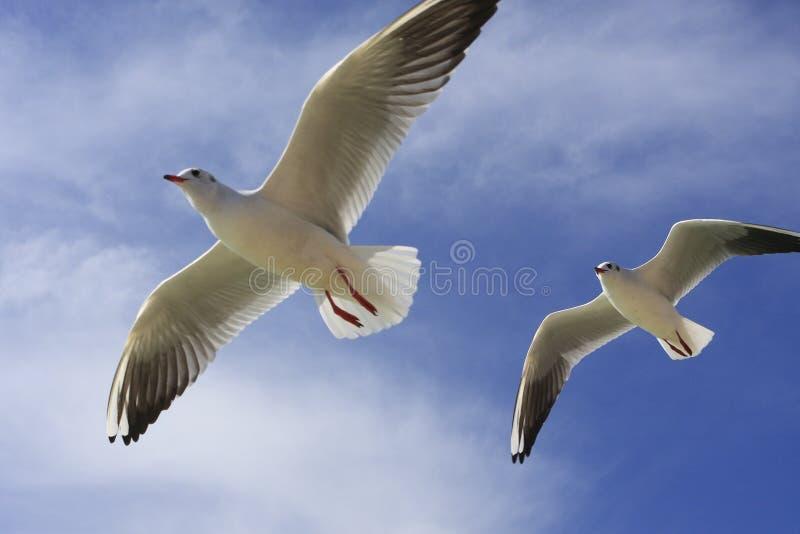 Download Gaviota de mar del vuelo foto de archivo. Imagen de belleza - 7284668