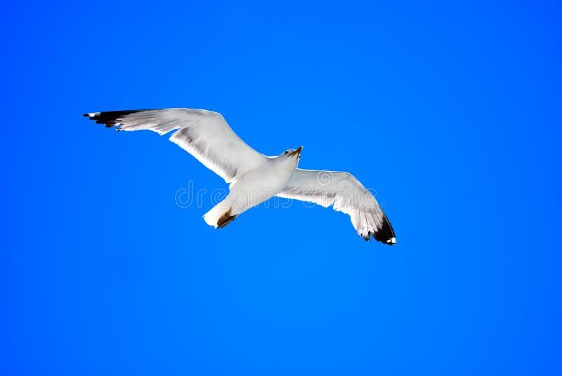 Gaviota de plata en vuelo sobre fondo brillante del cielo imagenes de archivo